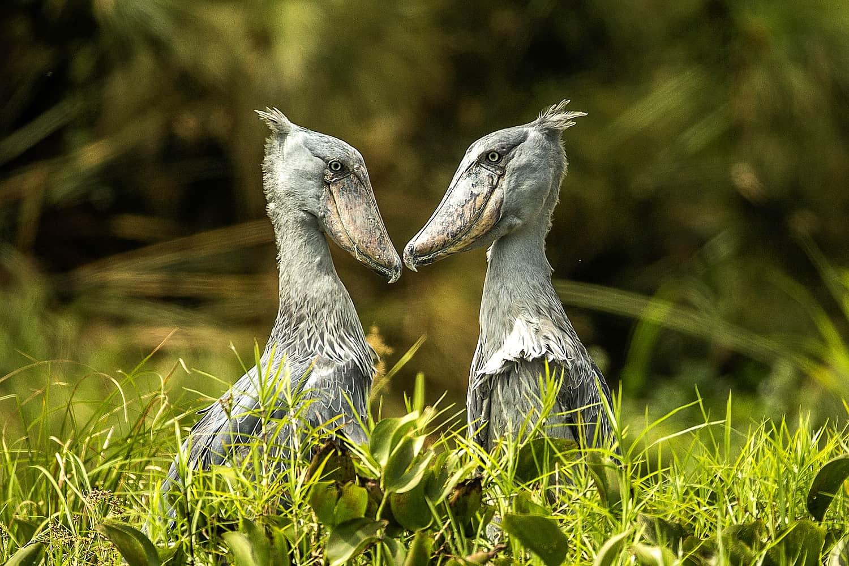 Birdwatching Safaris On The Victoria Nile & Lake Albert Delta