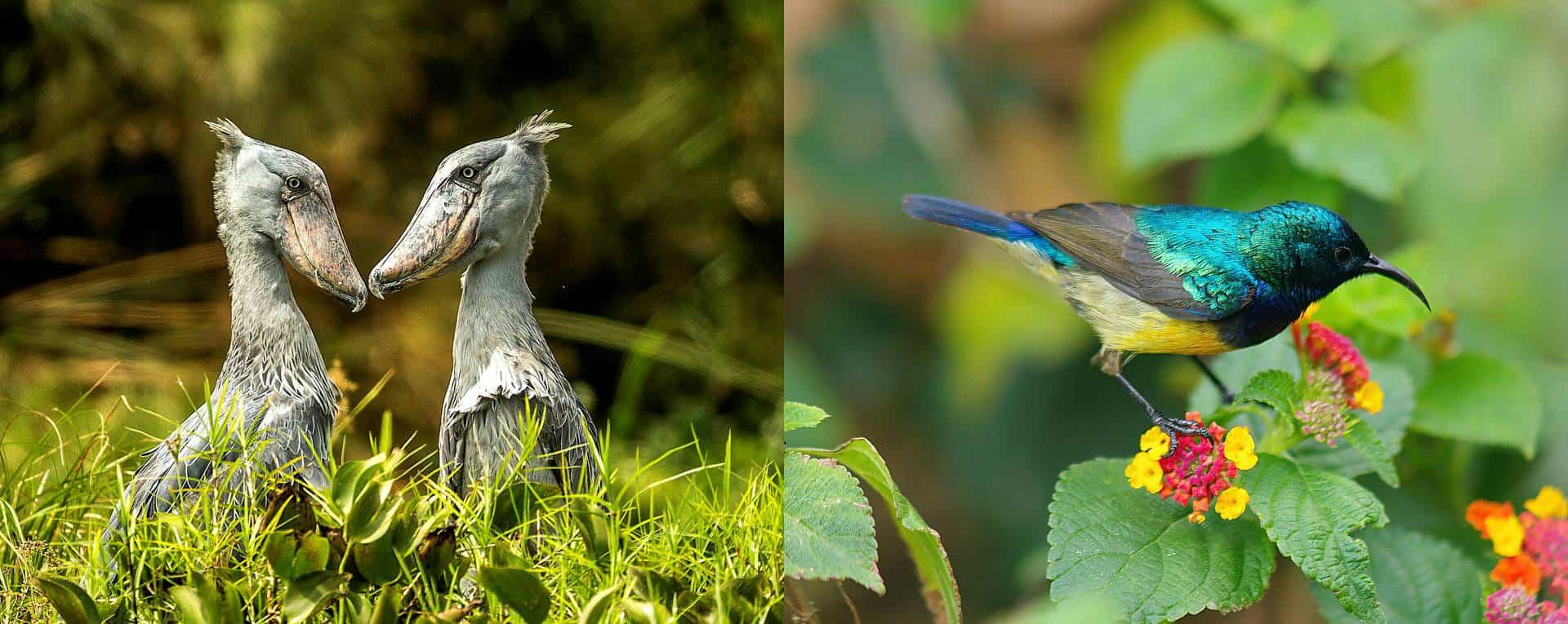 Birding Safaris Trip Planning Guide For Uganda