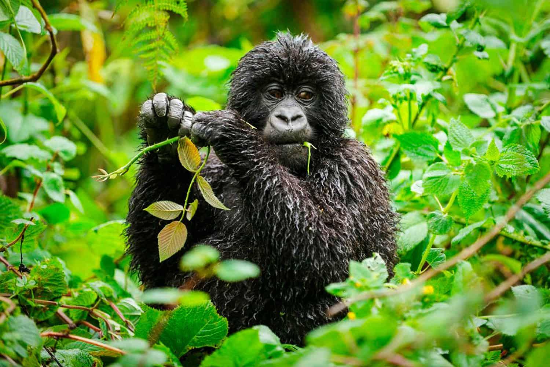 Overview On The Gorilla Safari At Bwindi Including Permit Prices