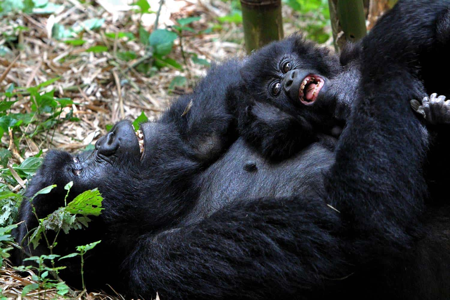 What Are The Distinctive Primate & Wildlife Experiences Of Bwindi