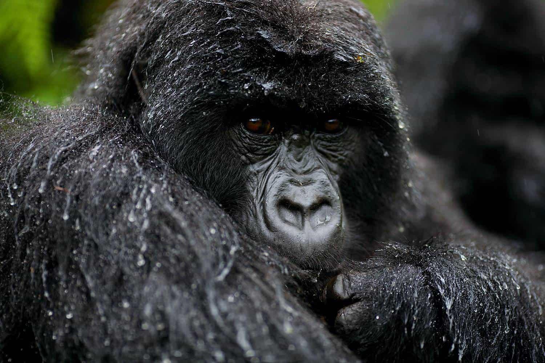 How To Plan The Best 2021-2022 Gorilla Safari Treks For Uganda
