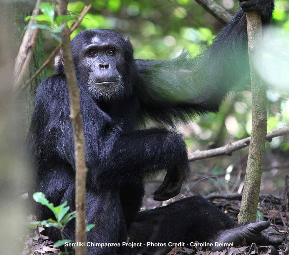 Chimpanzees Of The Semliki Project