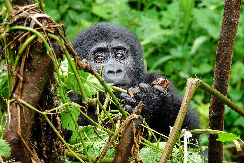 Gorilla Habituation Experience In Bwindi
