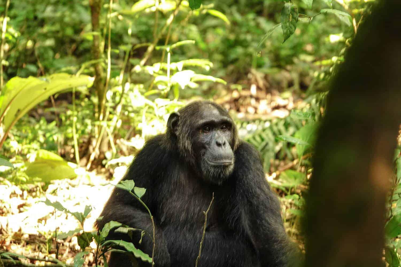 Chimpanzees & Primates Of Kanyawara, Ngogo, Kanyanchu & Sebitole Areas