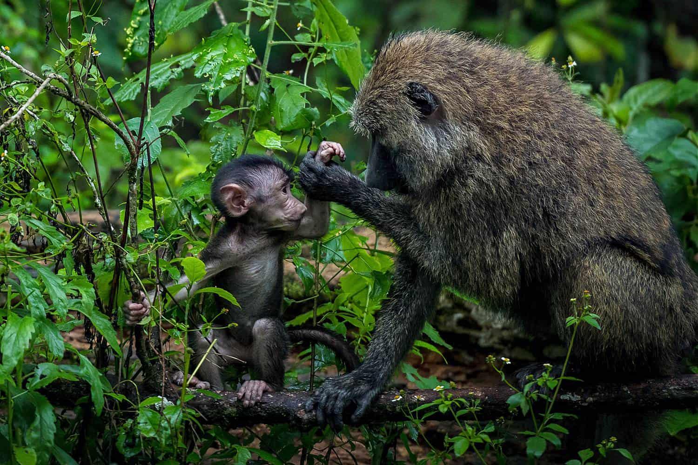Touring Bigodi Wetlands Sanctuary For Primates & Birds