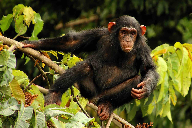 Visit The Chimpanzee Sanctuary At Ngamba Island