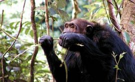 GOMBE CHIMPANZEE SAFARI & TOUR