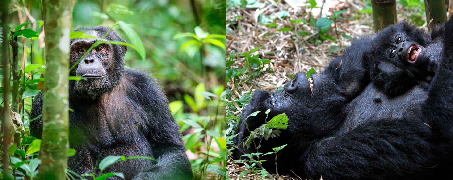 Gorilla, Chimpanzee & Primate Safaris Trip Planning Guide For Uganda