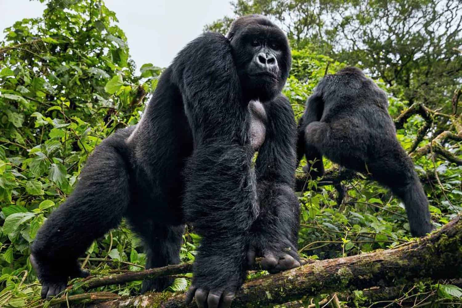 What To Expect On Your Gorilla Safari Day In Uganda