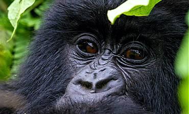 PREMIER TIER 1 - HIGHLIGHTS OF RWANDA SAFARI