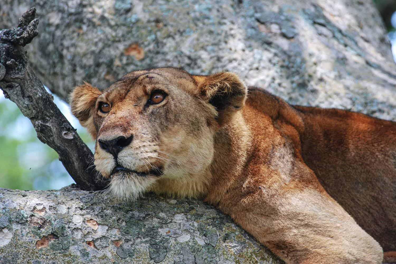 Ishasha Wilderness Camp Safari Queen Elizabeth Tour