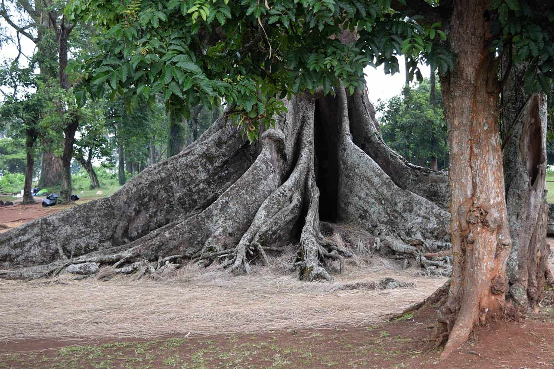 Excursion To The Nakayima Tree