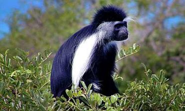 PRIMATE SAFARIS IN KENYA