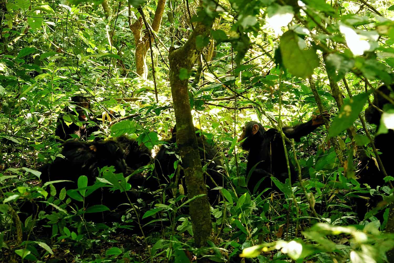 Where & Best Safari Parks To Find Chimpanzees In Uganda