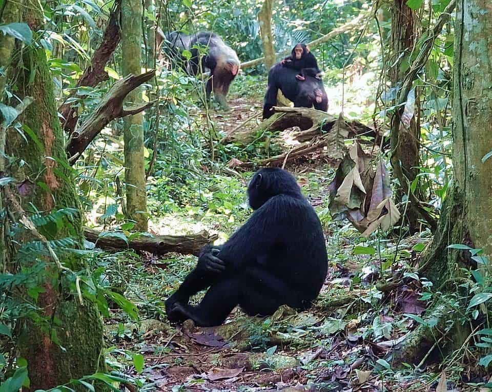 Chimpanzee Safari Regulations By The Park Authorities In Uganda