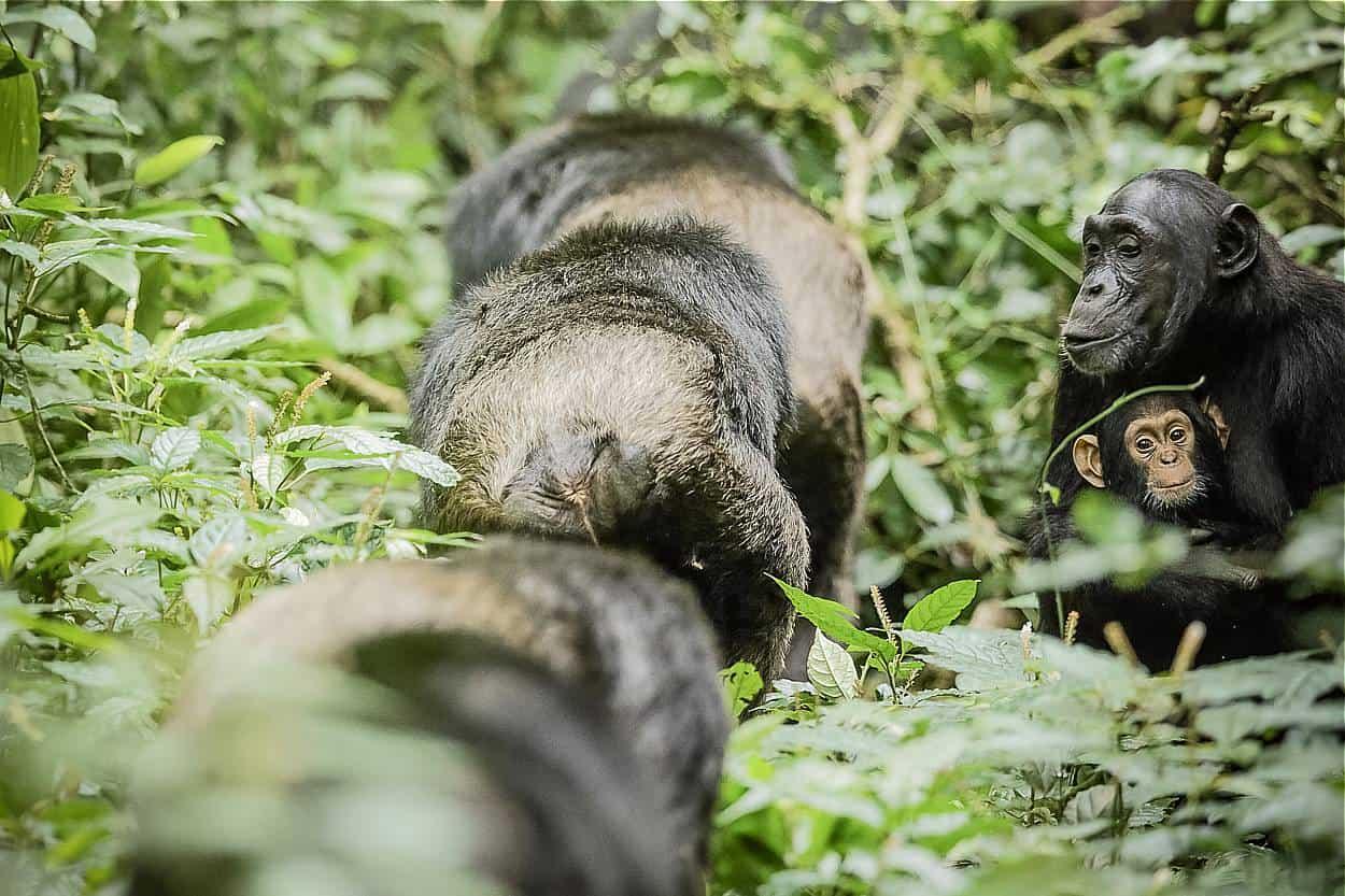 Tracking Down Chimpanzees Of Kyambura Gorge In Queen Elizabeth
