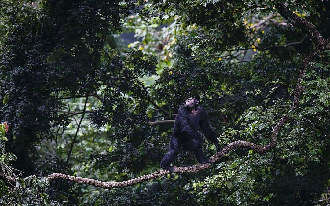 What Is The Chimpanzee Viewing Safari All About In Uganda