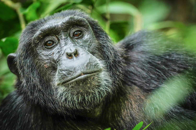 Chimpanzee Trekking In The Kyambura Gorge