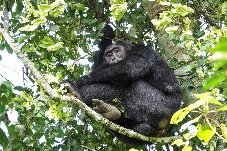 History of Chimpanzees In Uganda