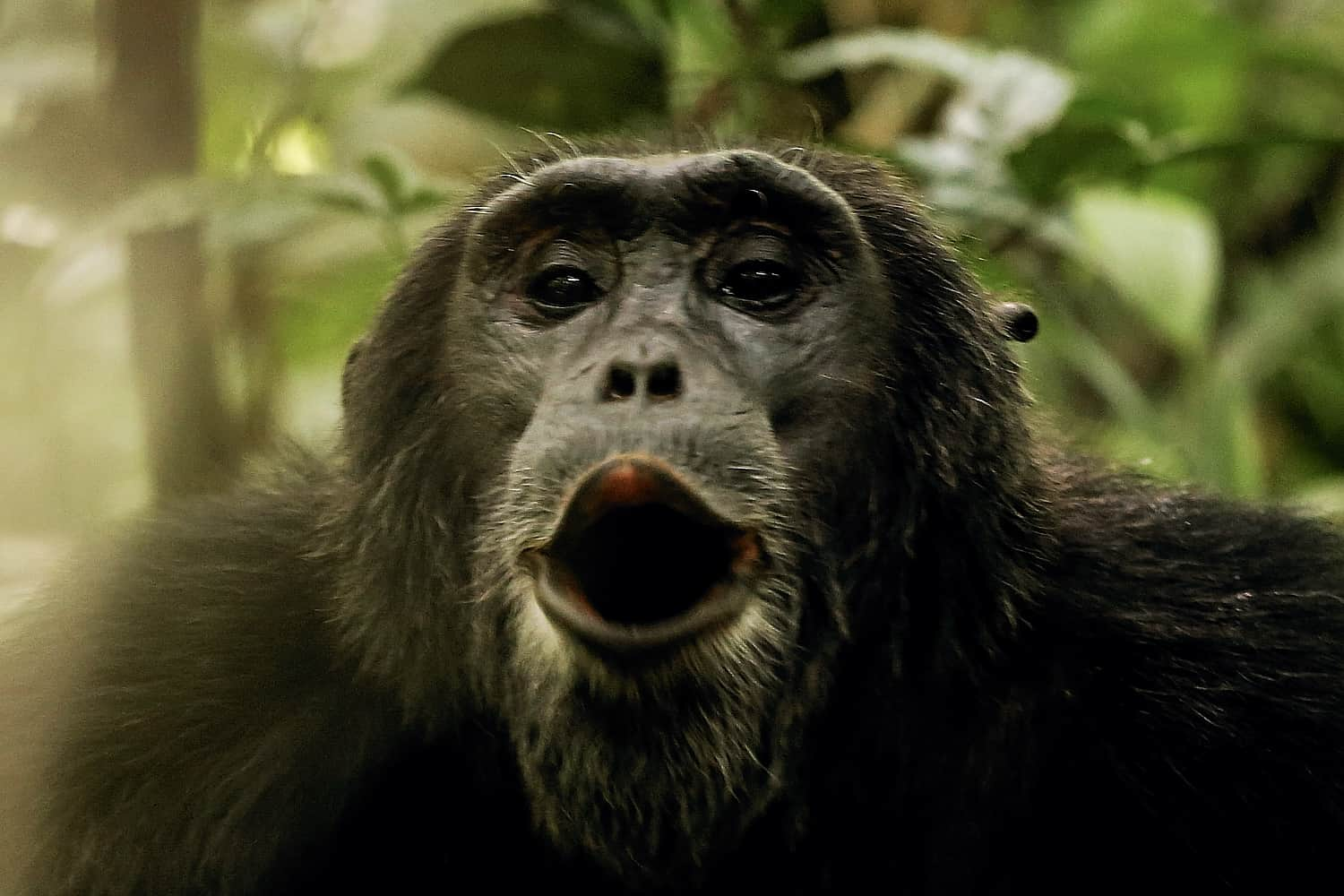 How Does The Chimpanzee Viewing Trek Work On The Day?