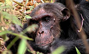 CHIMPANZEE SAFARIS IN TANZANIA