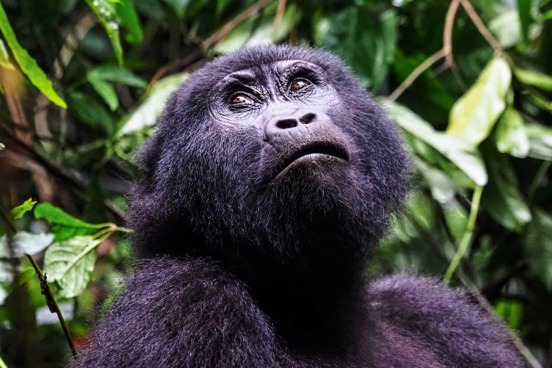 Best Time, Seasons & Months To Go Gorilla Trekking In Bwindi