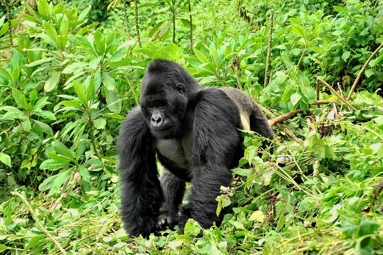 Mountain Gorillas Of Bwindi Forest & Mgahinga Parks