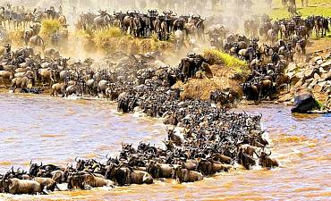 MIGRATION IN MASAI MARA