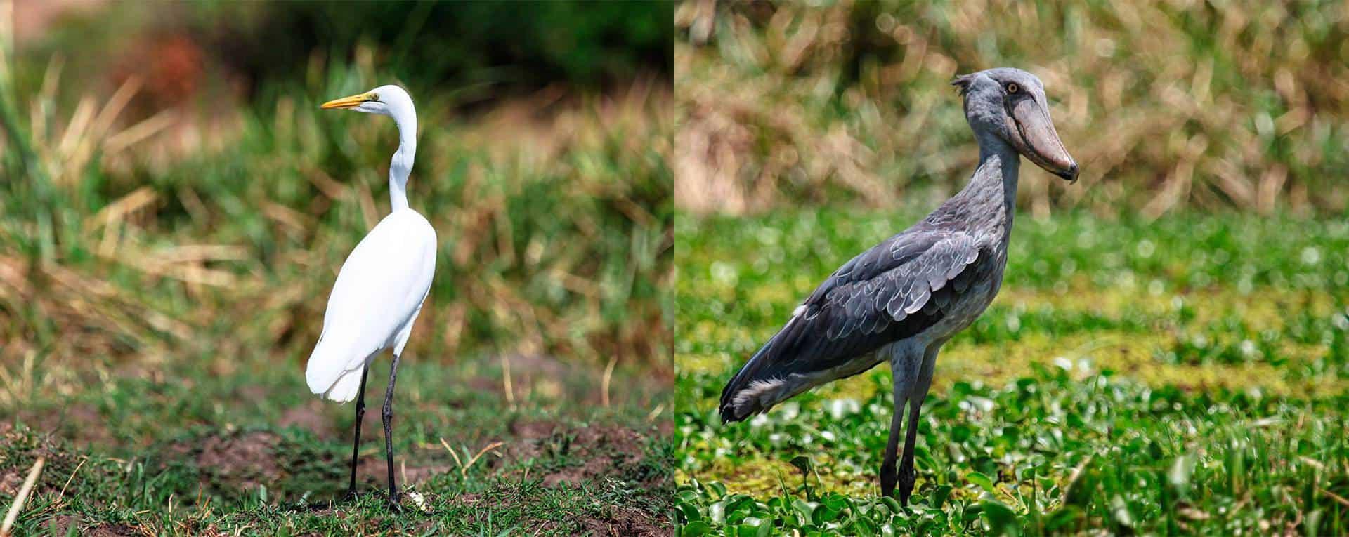 Birdwatching Safaris In Lake Mburo