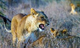WILDLIFE SAFARIS IN KENYA