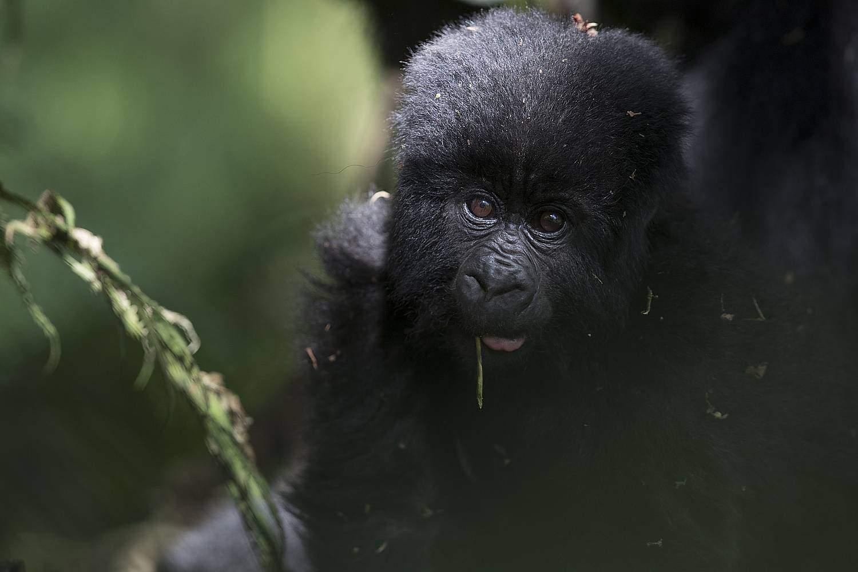 Best Time, Seasons & Months To Go Gorilla Trekking In Mgahinga