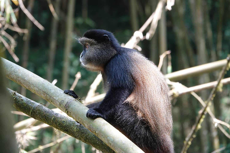 Golden Monkeys Trekking Safari In Uganda
