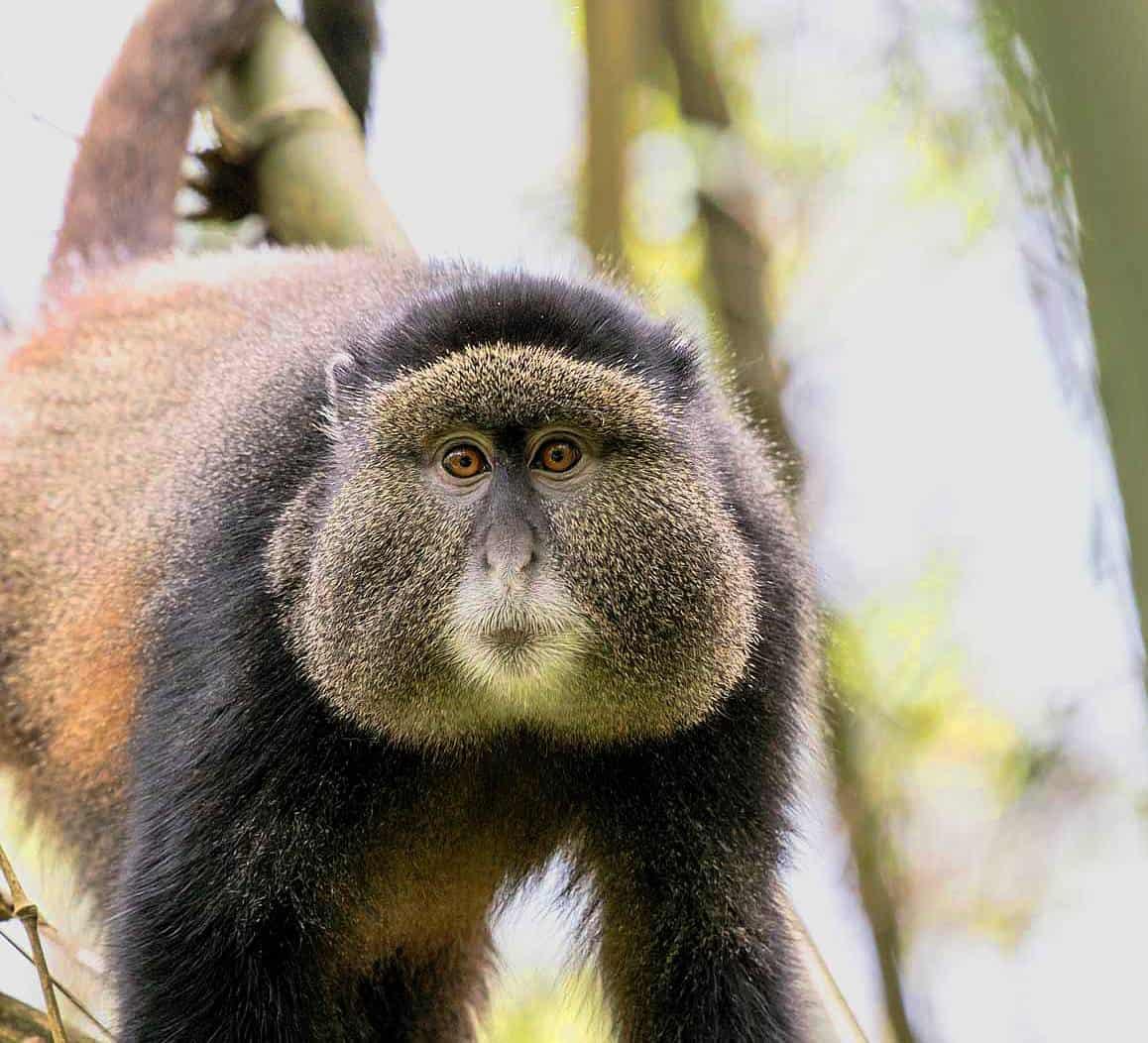 Tracking Down The Golden Monkeys Of Mount Gahinga