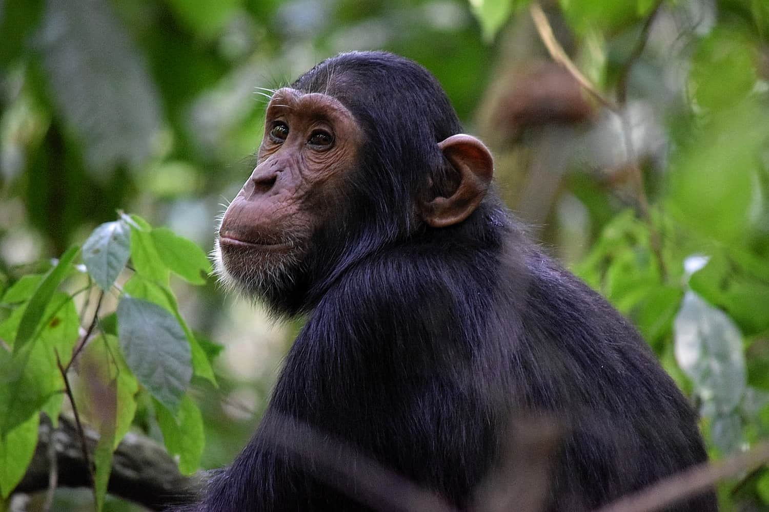 Chimpanzees & Primate Treks At Budongo Forest In Murchison Falls