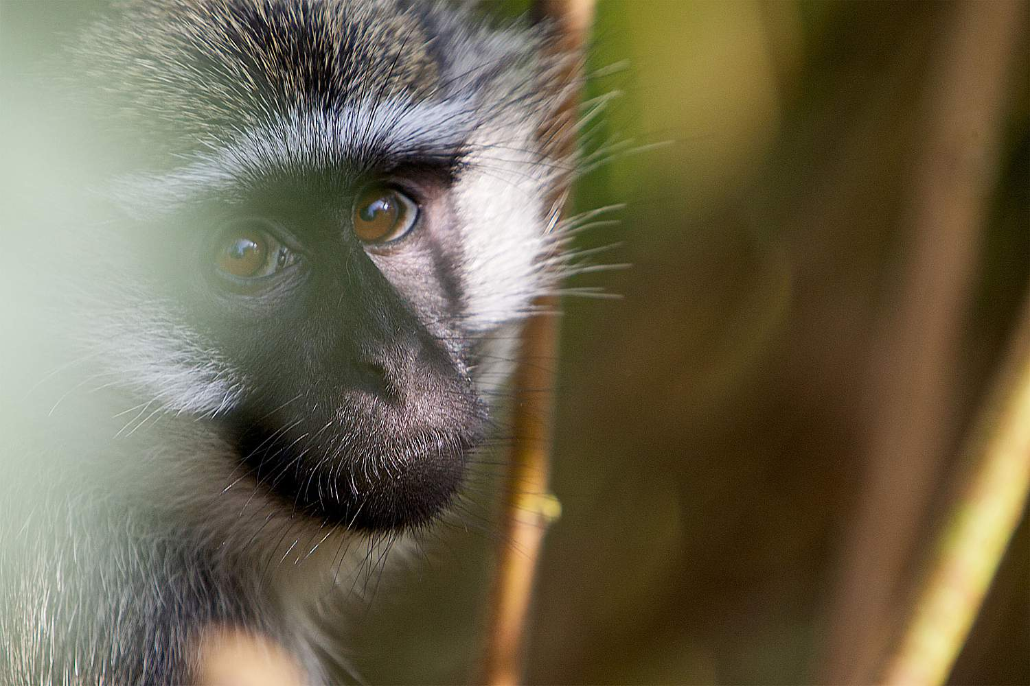 Viewing The Other Primates Of Uganda