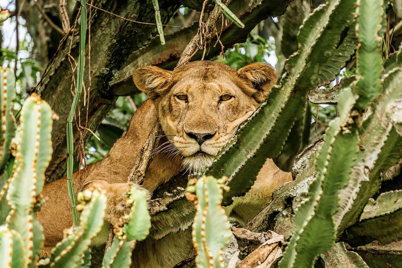 Experience The Tree-Climbing Lions Of Ishasha