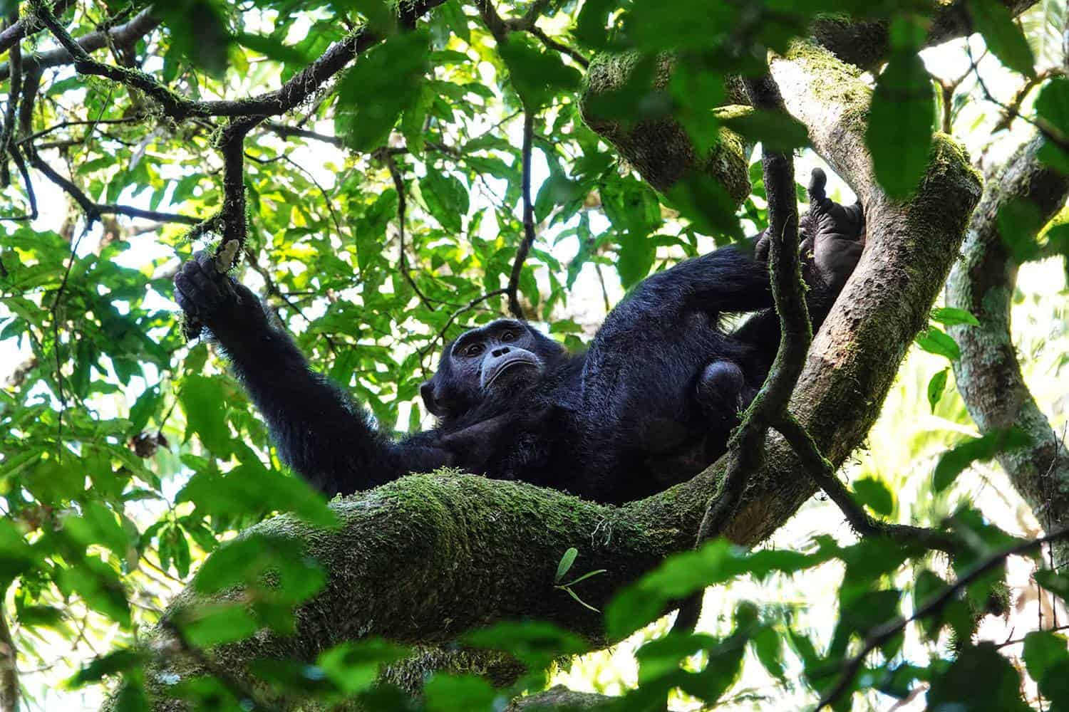 The Most Affordable Country In Africa To See Wild Chimpanzees