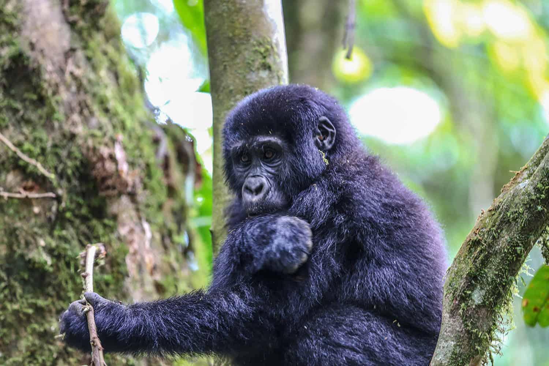 Gorilla Families In The Nkuringo Sector - Bwindi
