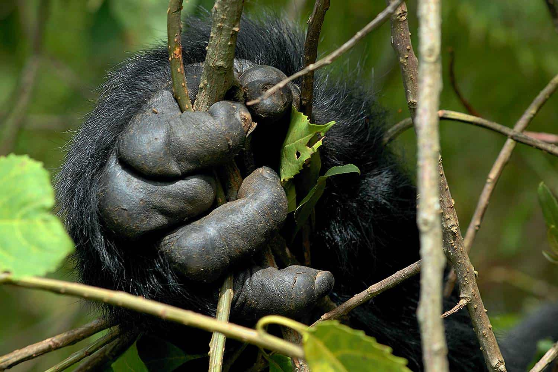 Physical Characteristics Of Uganda Mountain Gorillas