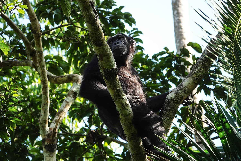 Kibale Forest Chimpanzee Safari