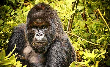 4 DAYS - BEST OF GORILLA VOLCANOES SAFARI