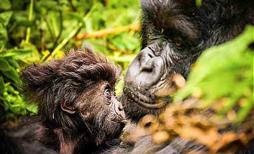 8 DAYS - BEST OF RWANDA SAFARI
