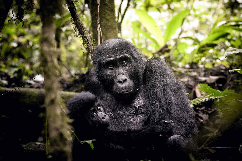 Behavioral Characteristics Of Mountain Gorillas In Uganda