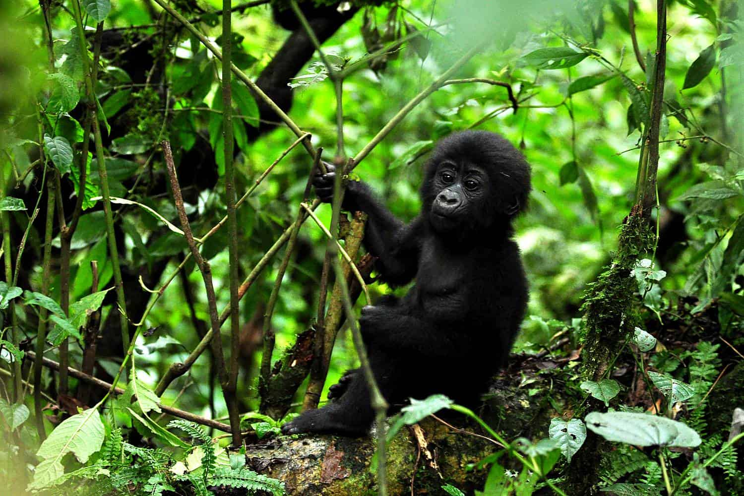 Important Guidelines For Tracking Down Gorillas In Uganda