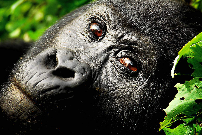 Twin Gorilla Trekking Safaris At Bwindi & Mgahinga Including The Unique Gorilla Habituation Experience