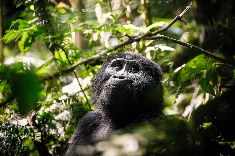 Sanctuary Gorilla Forest Camp Safari Bwindi Tour