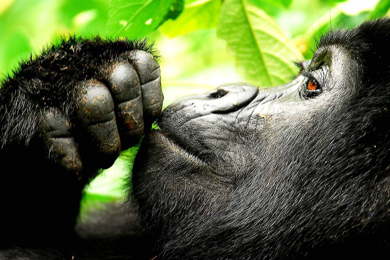 What To Expect From A Uganda Gorilla Trek On Your Honeymoon Safari Vacation