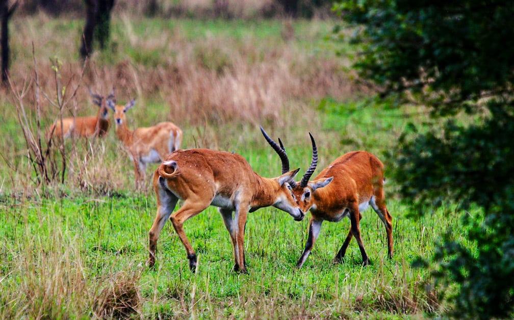 Savannah, Forest, & Lake Safari In Semliki Reserve