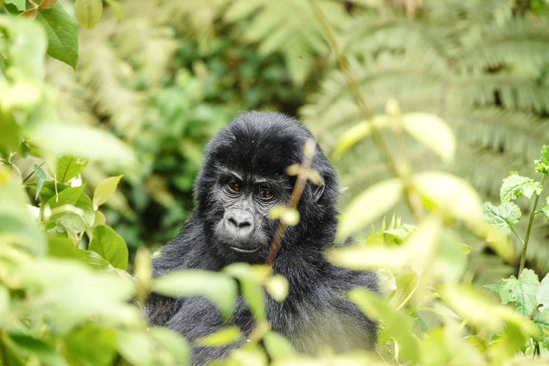 Gorilla Families In The Buhoma Sector - Bwindi