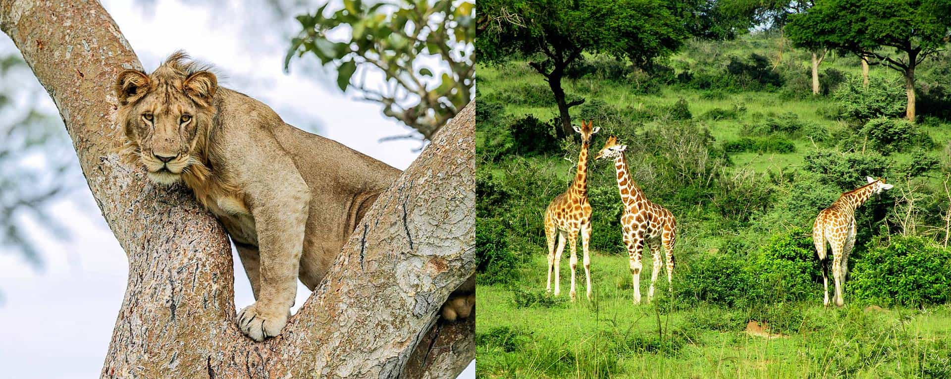 Wildlife Safari Trip Planning Guide For Uganda